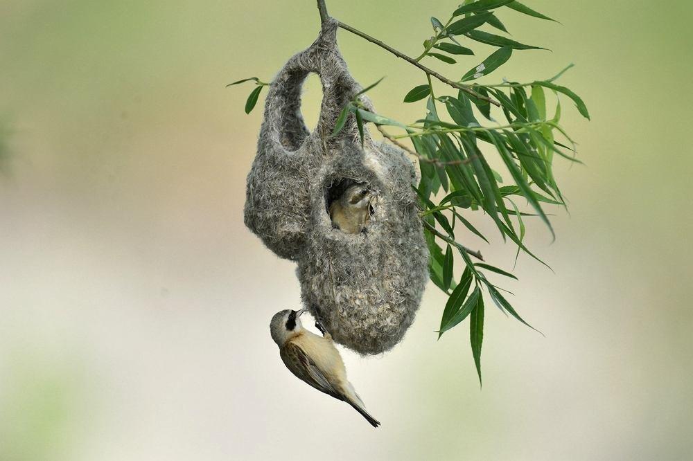鸟类常见疾病巴氏杆菌病的症状及治疗